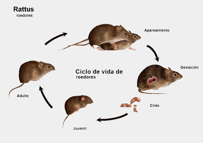 Ciclo de vida de los roedores