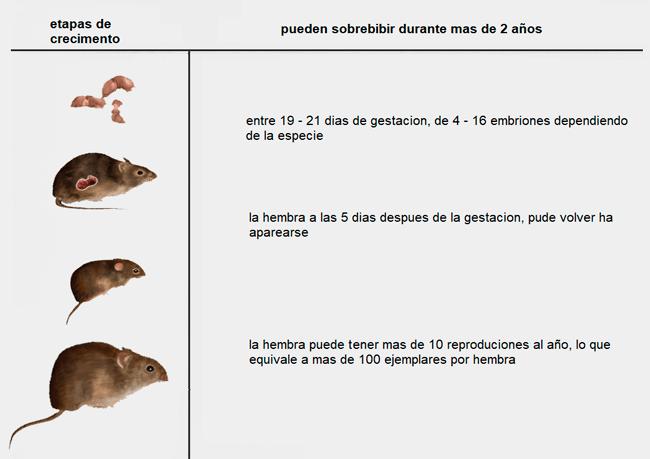 Etapas de crecimiento de los roedores