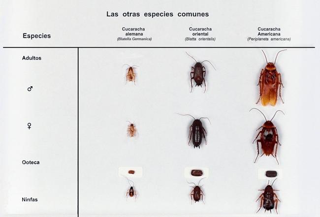 Otras especies de cucaracha