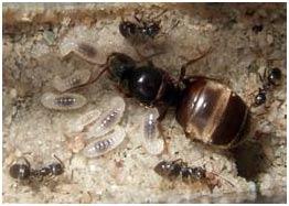 hormiga2 Desinsectación de Hormigas en Madrid