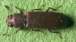 Polilla de la madera o Lyctus brunneus Tratamiento de la Madera - Carcoma