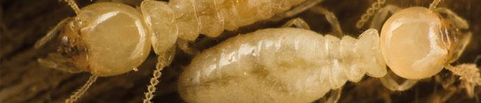 termitas banner Desinsectación de Termitas en Madrid